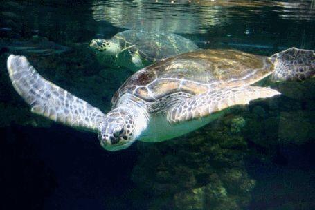 Schildkröte im Ozeaaneum