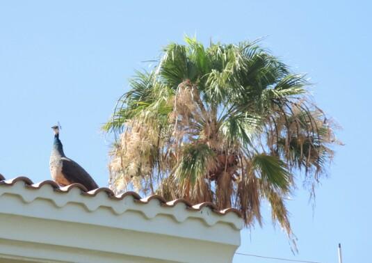 selbst auf dem Dach stolzierten die Pfauen und schrien...