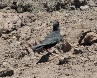 eine Graja -  Krähe mit rotem Schnabel und roten Füßen, kommt nur auf La Palma vor