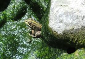 Ein Frosch im Tümpel