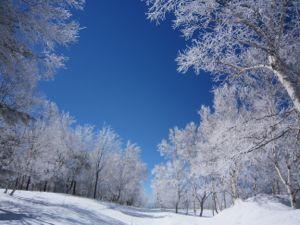 白樺の雪景色