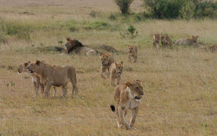 Сексуальное поведение льва