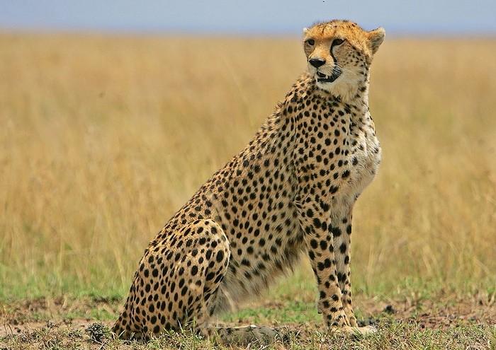 Член гепарда