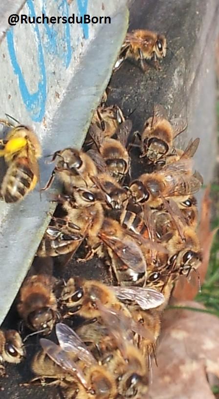 Premières sorties des abeilles entre les averses incessantes du mois de février 2014