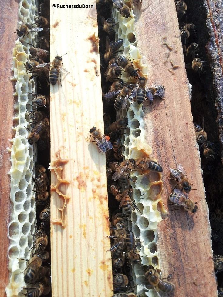 hausse de miel de bruyère des Landes (juin, juillet)