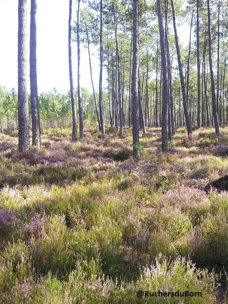 callune en sous bois (septembre)