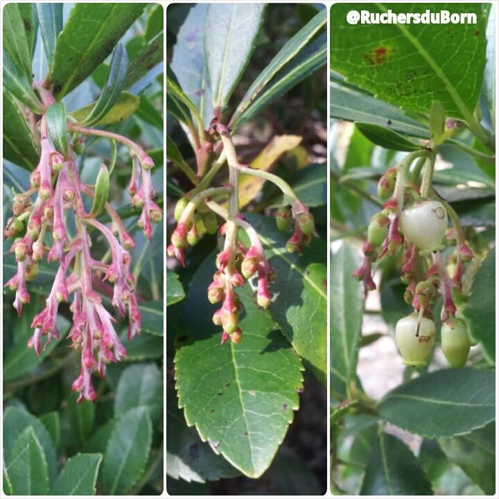 différents stade des fleurs d'arbousier