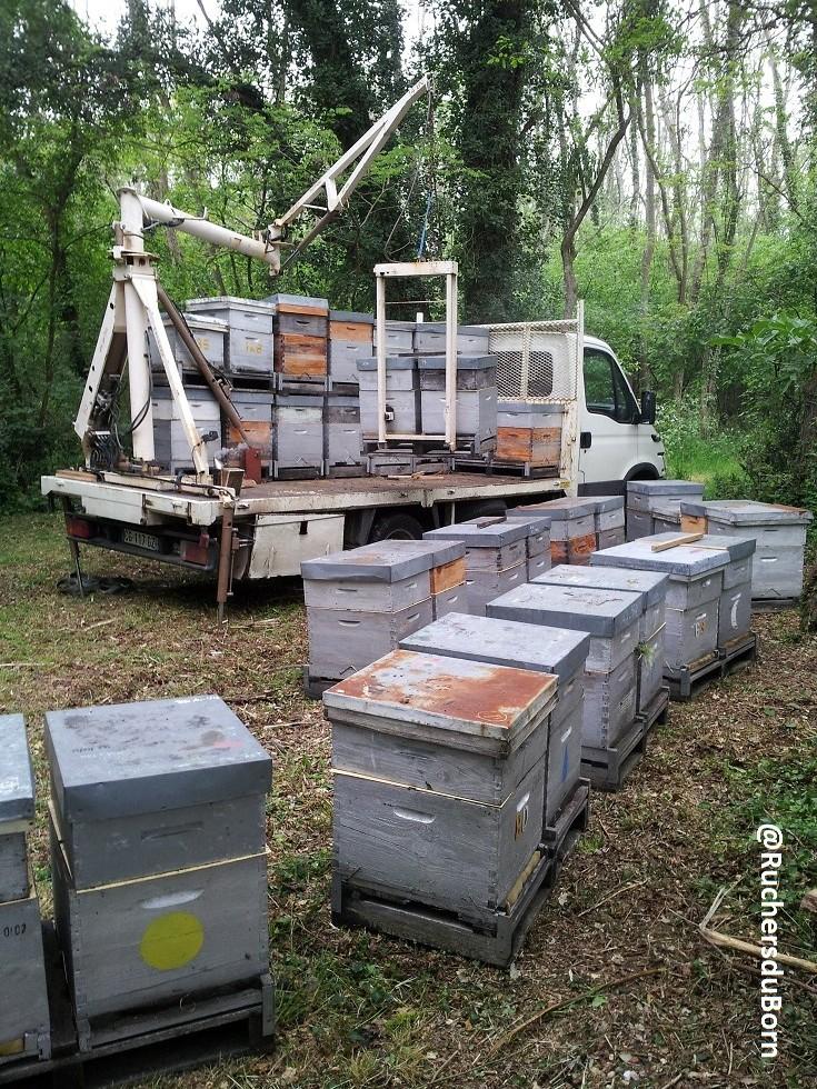 dépose des ruches sur un rucher d'acacia (mai, lande girondine)