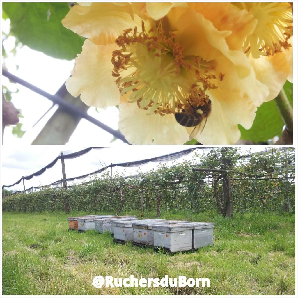 pollinisation des kiwis de l'Adour