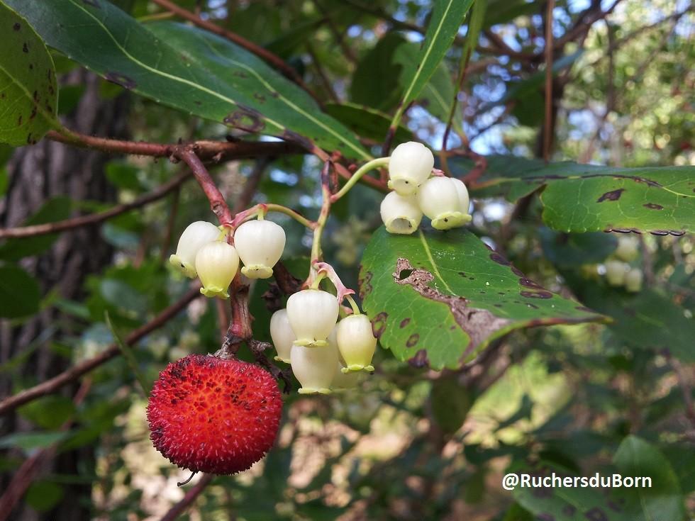 arbousier : fruits et fleurs (octobre)