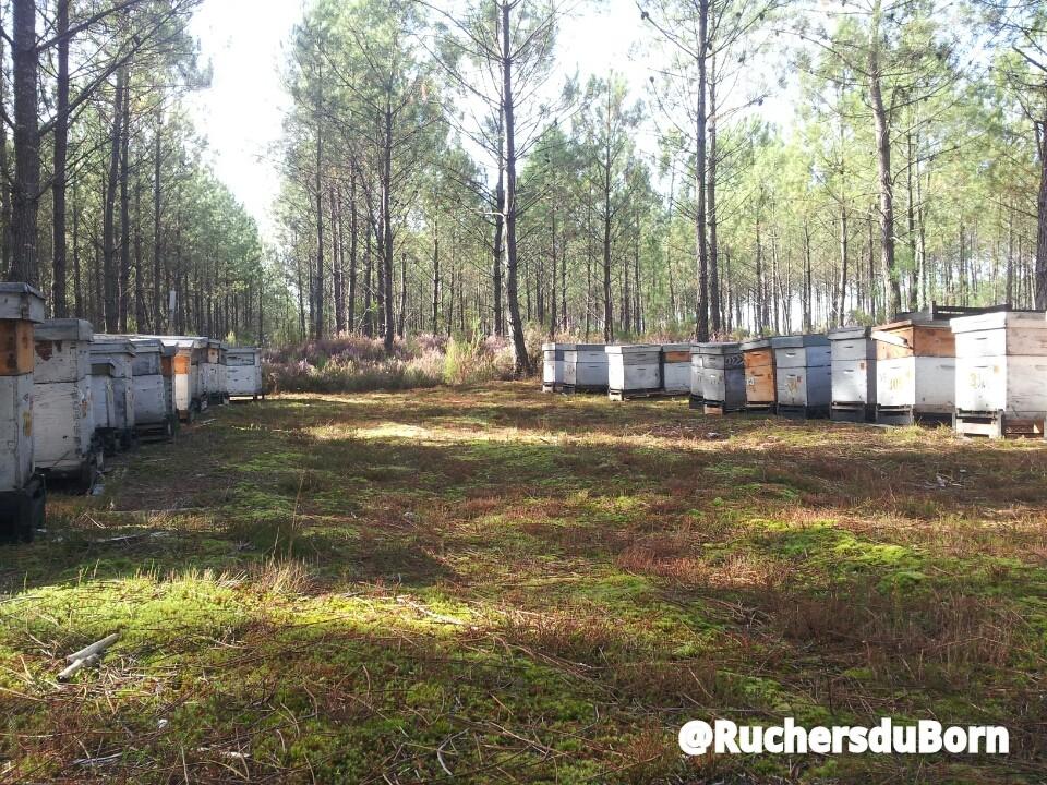 rucher sur la miellée de callune des Landes