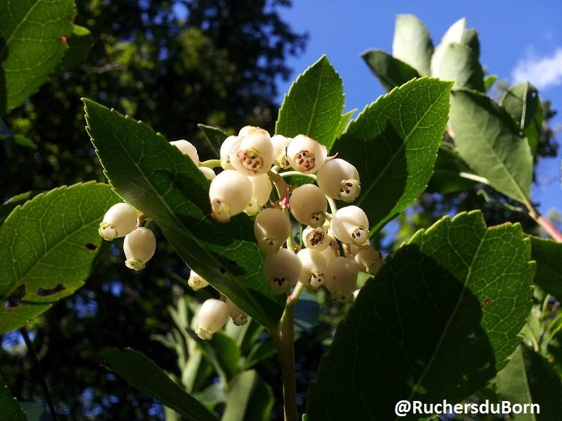 arbousier en fleurs (octobre)