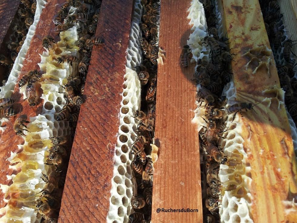 hausse de miel de bruyère des Landes (août)