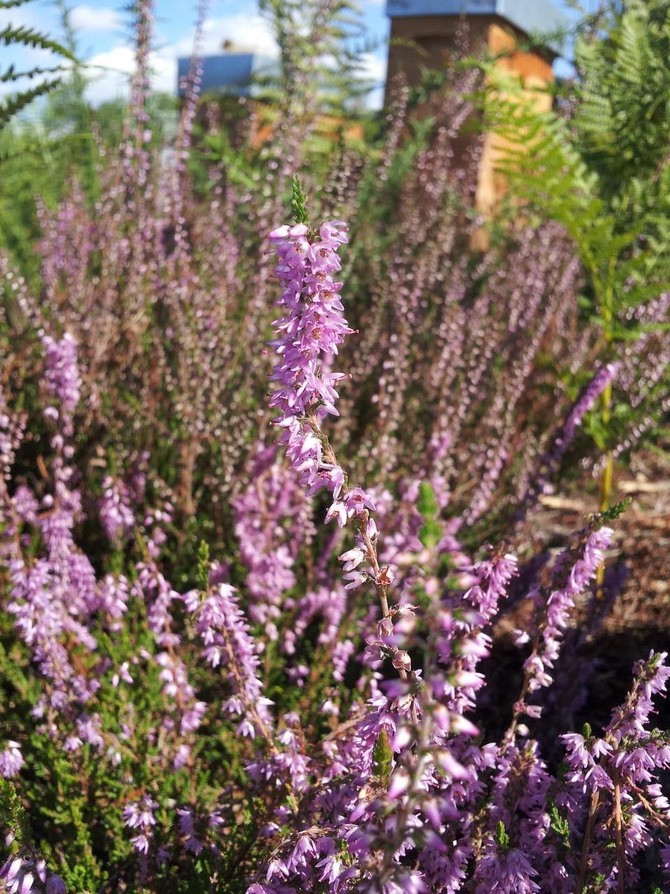 callune en fleurs (septembre)