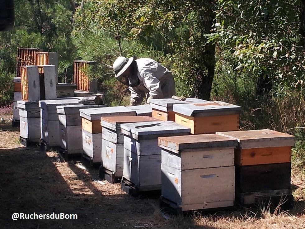récolte du miel de bruyère des Landes (août)