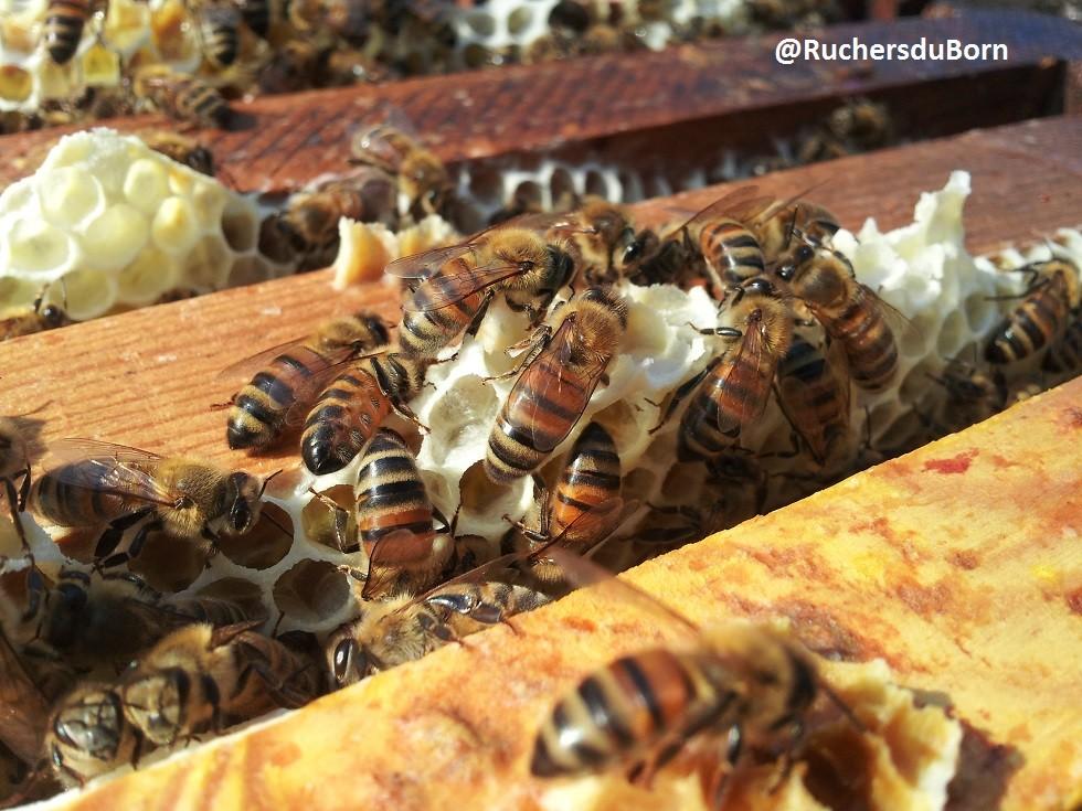 abeilles sur hausse de miel de bruyère des Landes (juin, juillet)