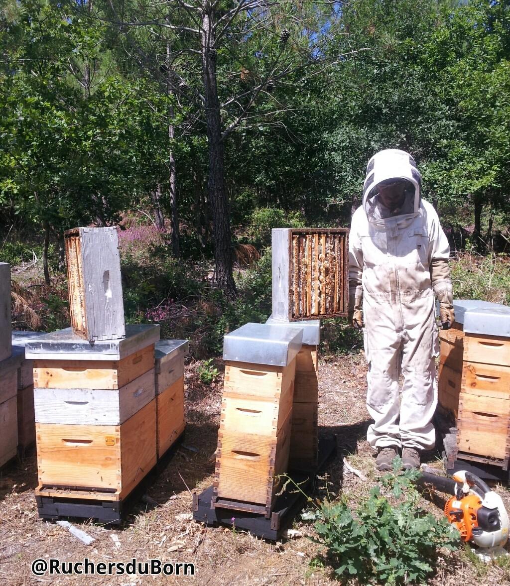 Récolte de miel de bruyère des Landes