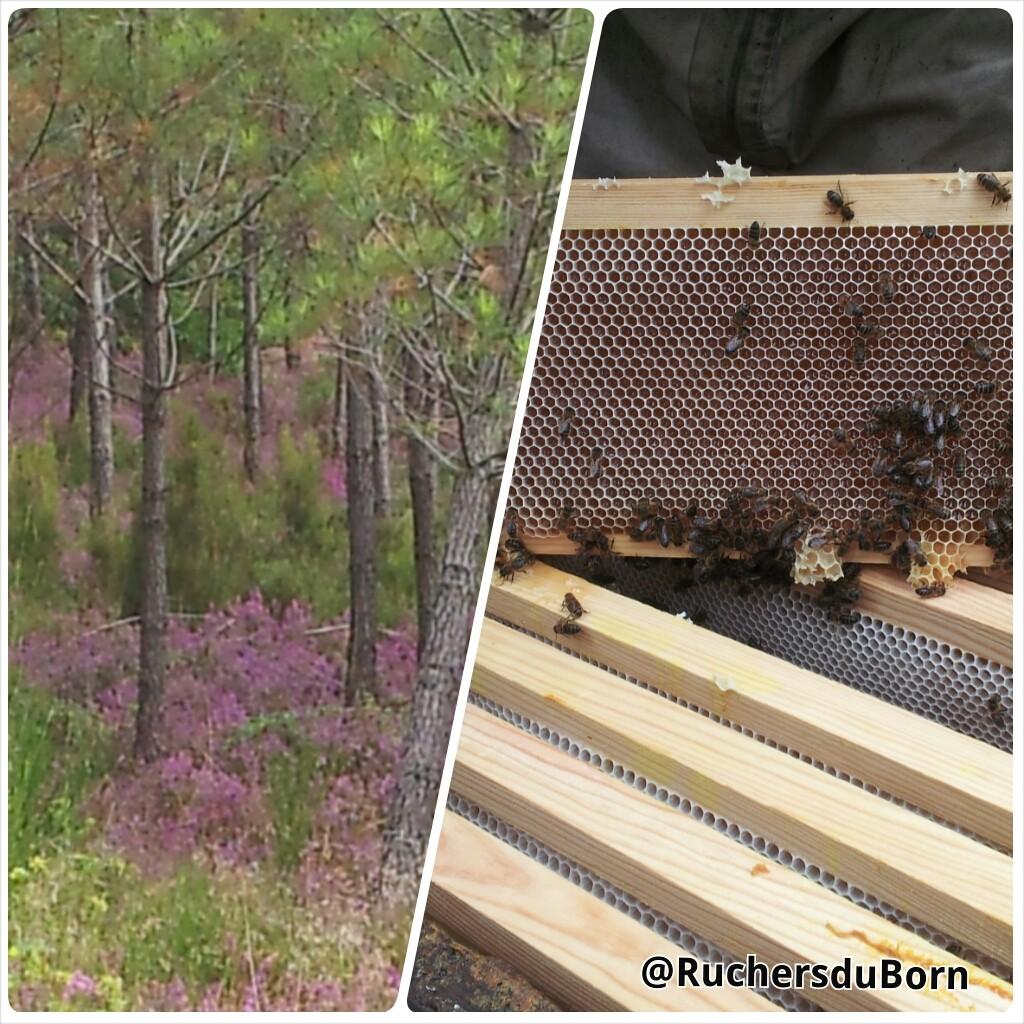bruyère en sous bois et miel de bruyère des Landes