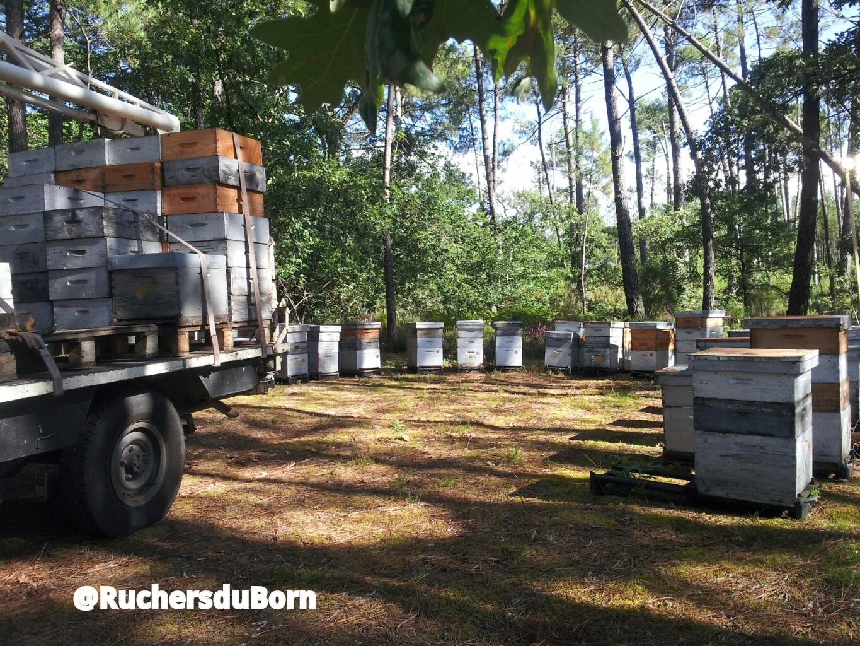 Ruchers dans les Landes sur la miellée de bruyère