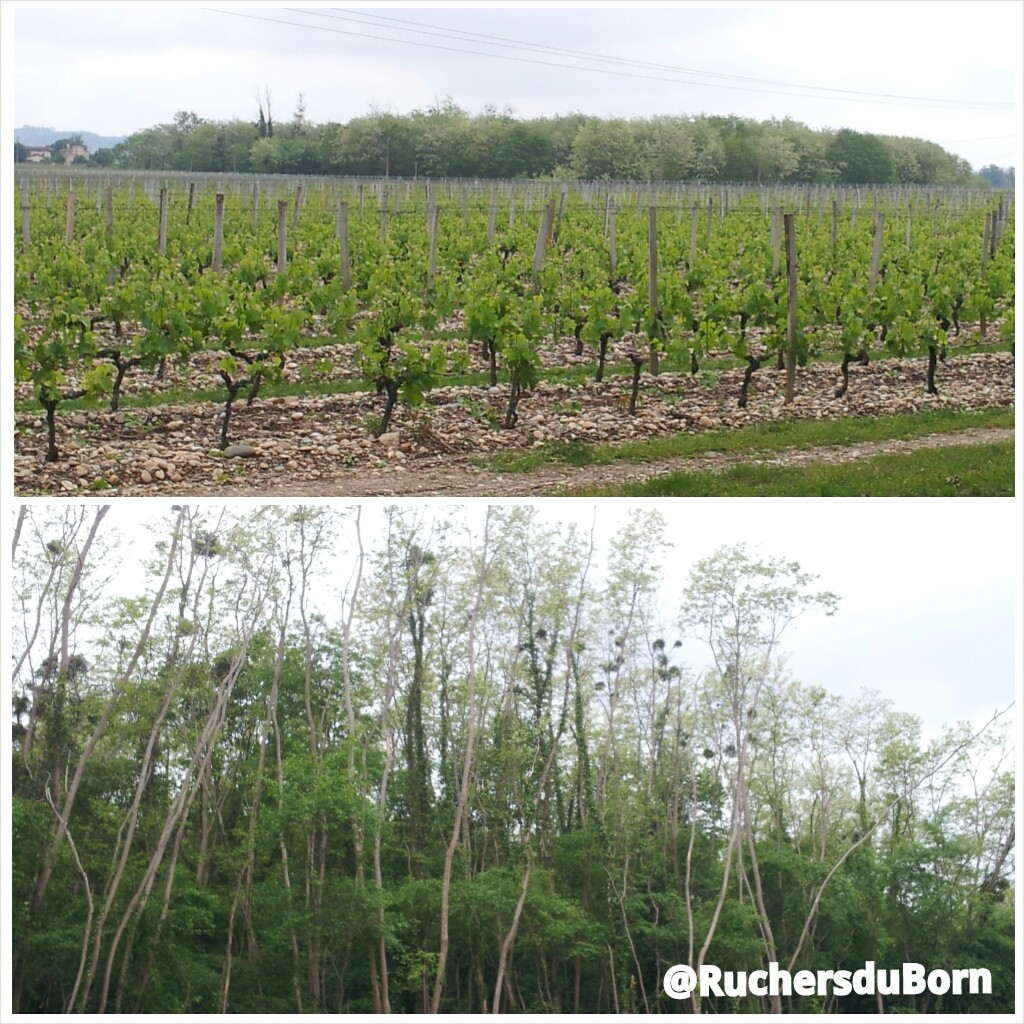 vignes et bosquets d'acacias en Gironde