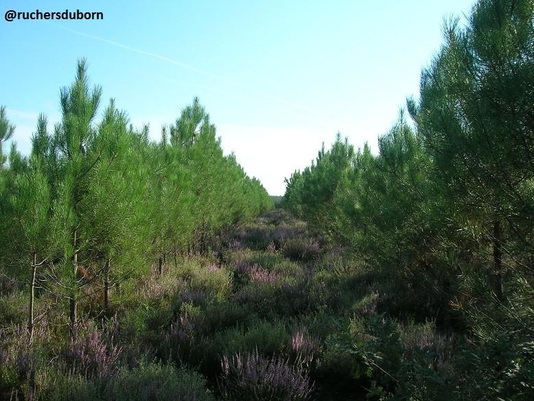 callune sous de jeunes pins (septembre)