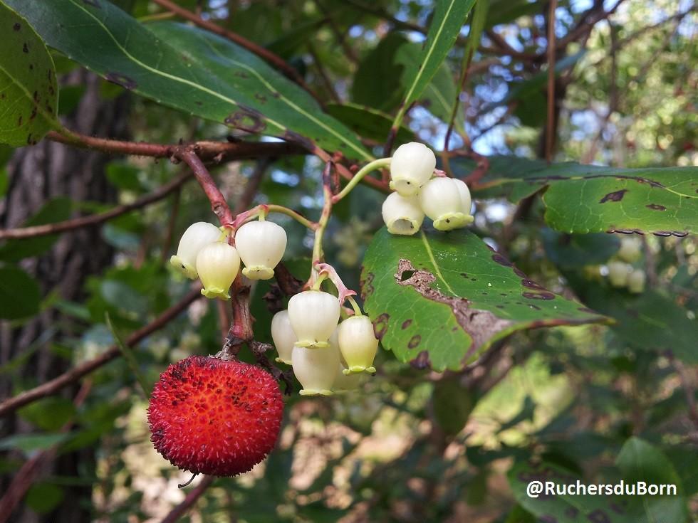 arbousier : fleurs et fruits (octobre)