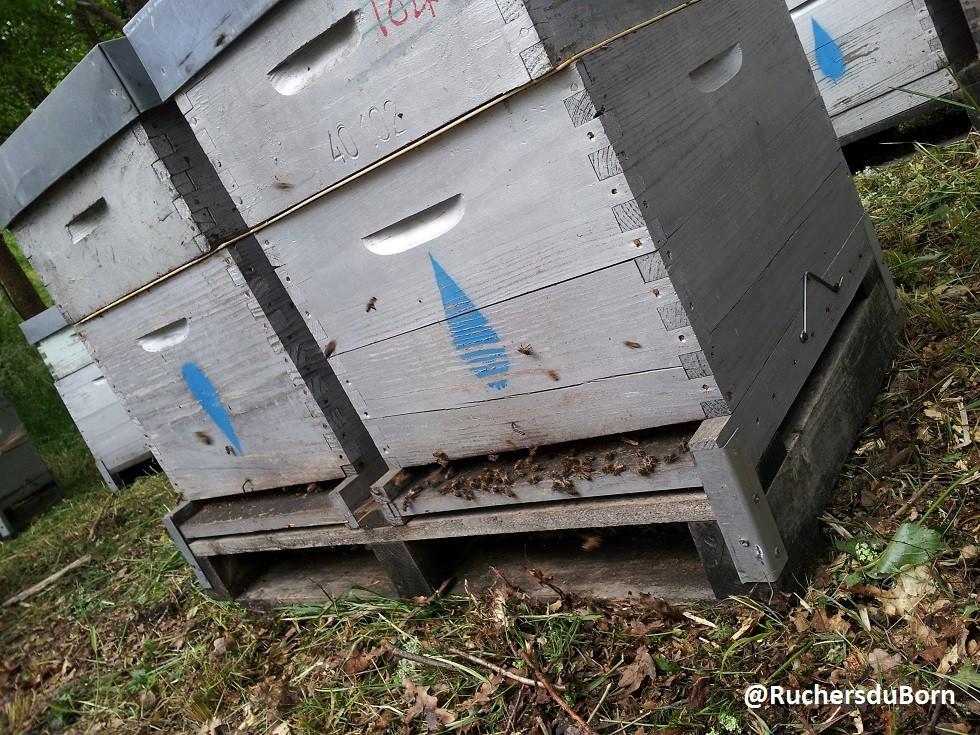 ouverture de ruches après transhumance (mai)