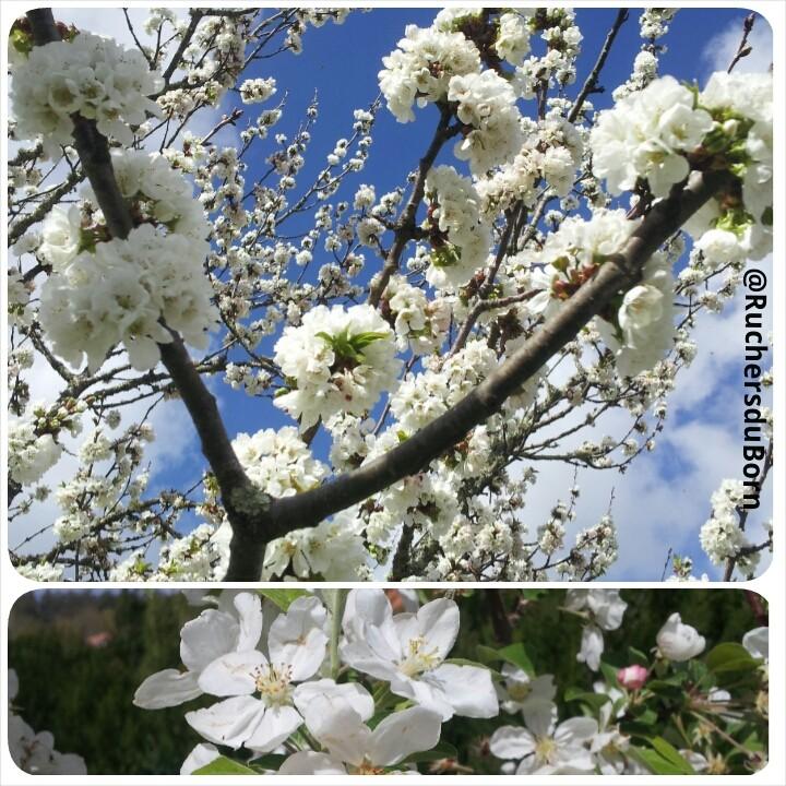 cerisier et pommier en fleurs