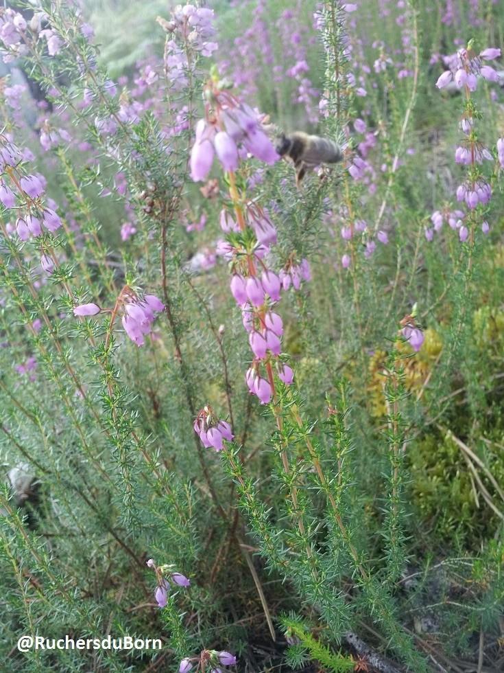 abeille sur fleurs de bruyère des Landes (juin, juillet)