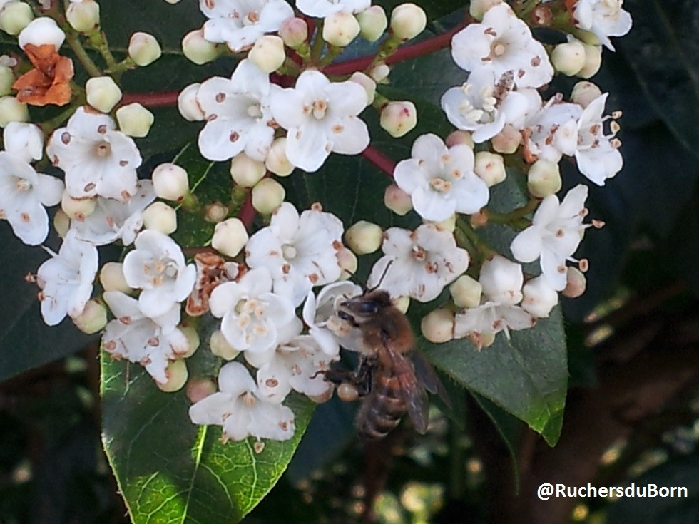abeille sur laurier-thym (mars)