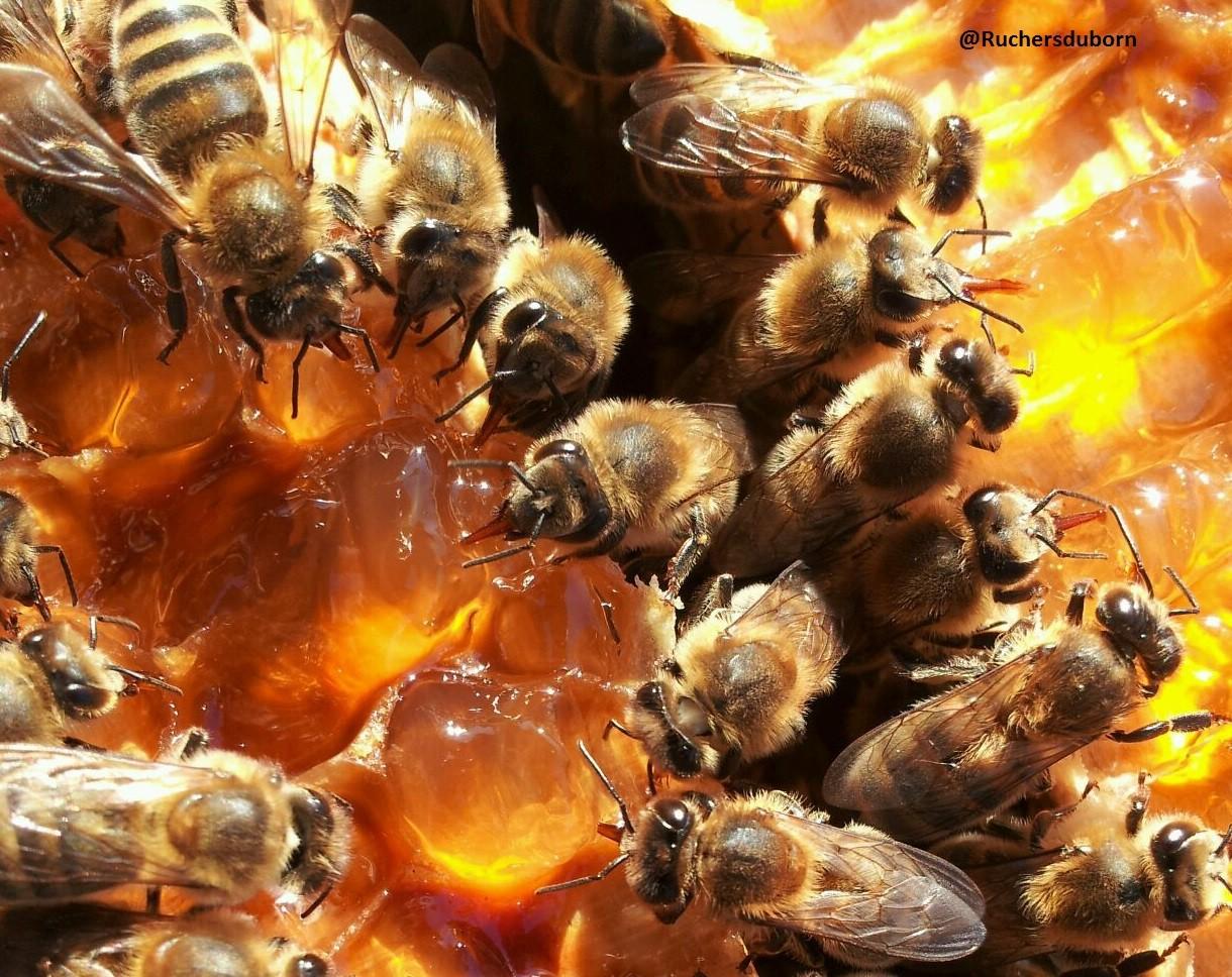 abeille sur hausse de miel de callune des Landes (octobre)