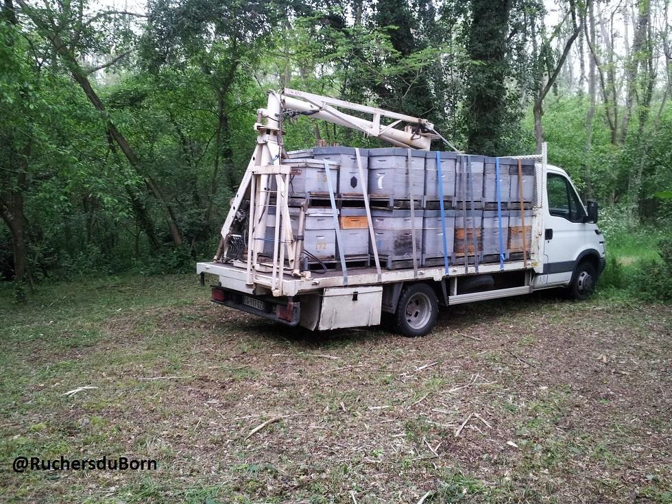 arrivée sur un rucher d'acacia (mai, Foret des landes girondine)