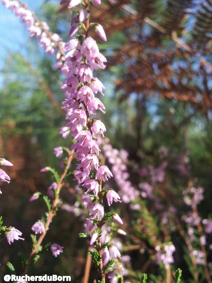 fleurs de callune des Landes