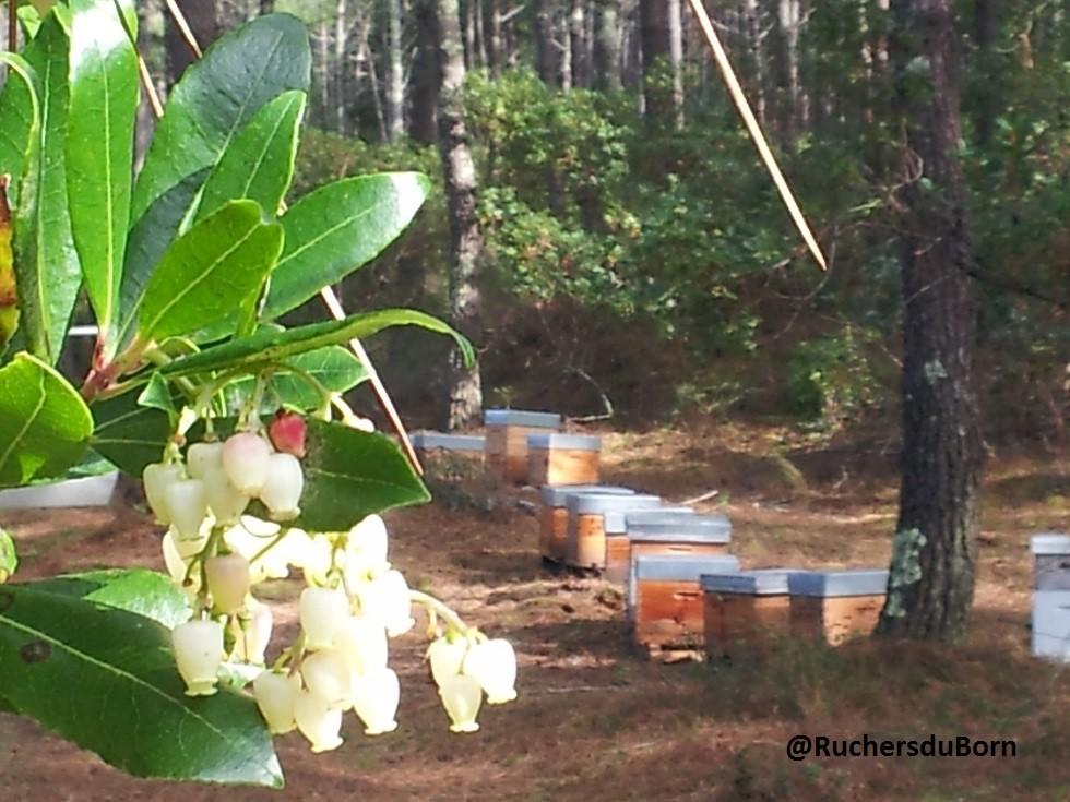 arbousier et ruches (octobre)