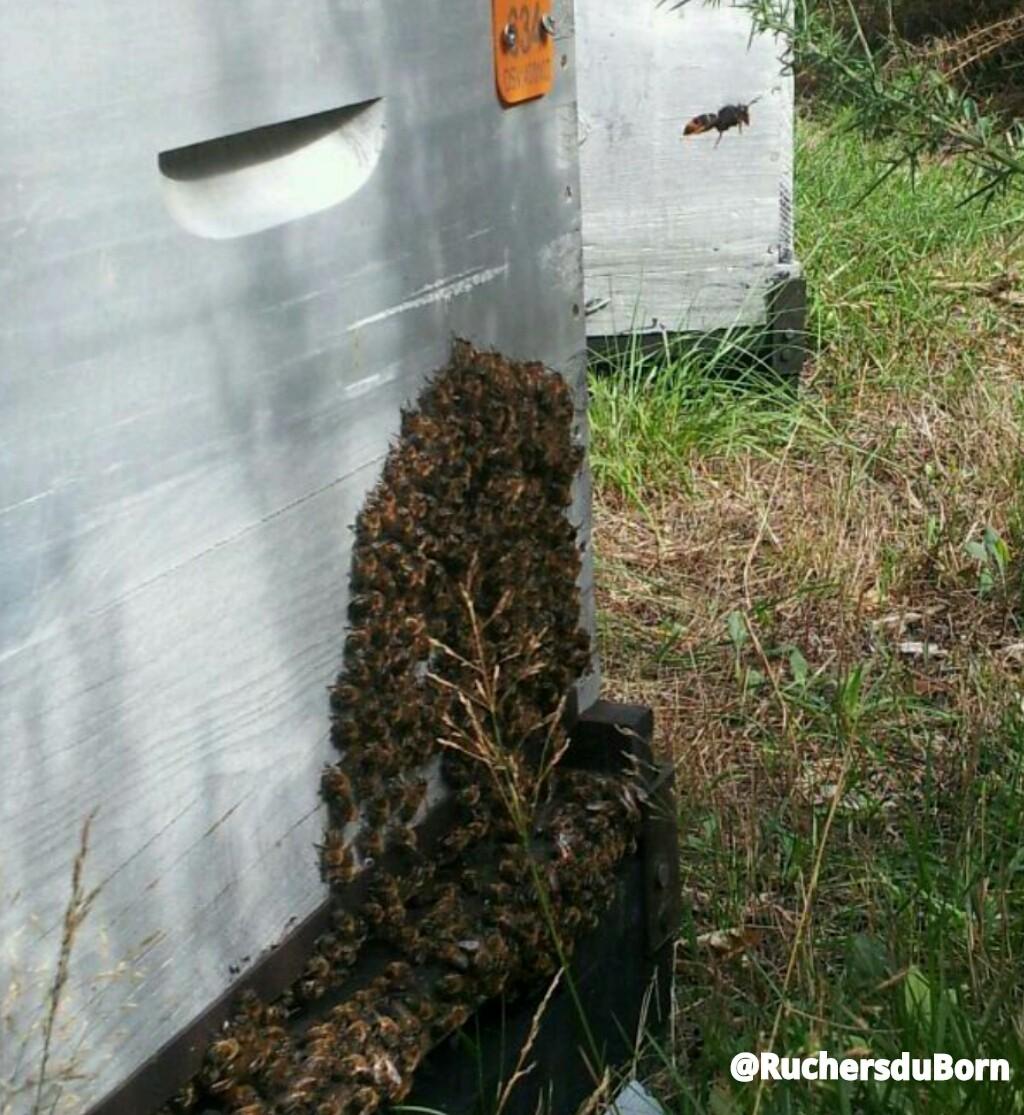 défense inefficace d'une ruche contre le frelon asiatique