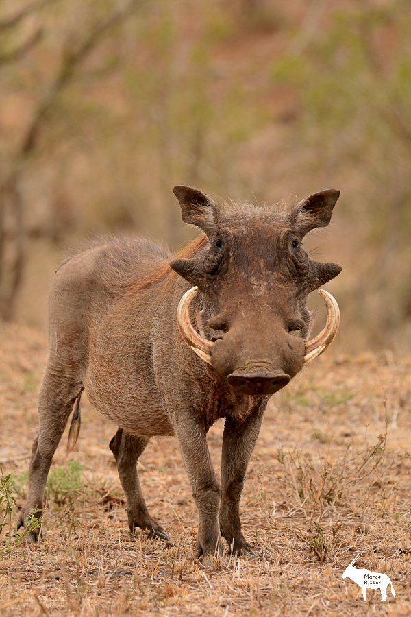 Warzenschwein (Keiler)
