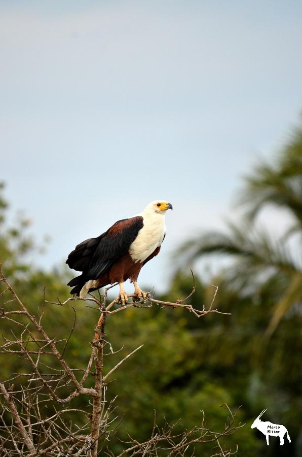 Afrikanischer Fischadler