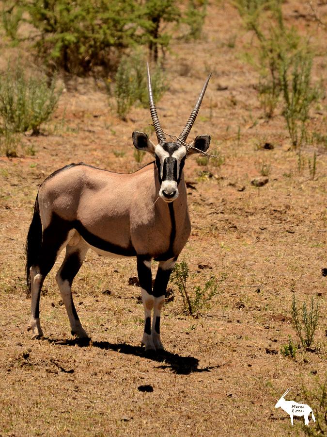 Oryx / Gemsbock