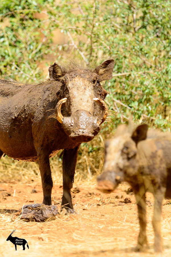 Warzenschwein (Bache)