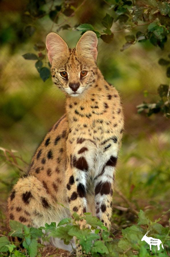 Servalkatze - Non-Wildlife