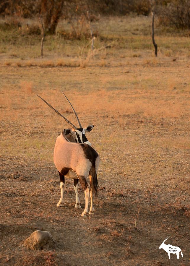 Oryx (Kuh)