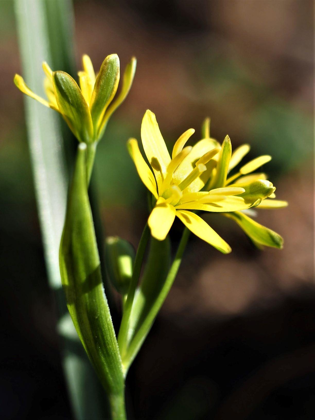 Wald-Gelbstern (M. Pagel)