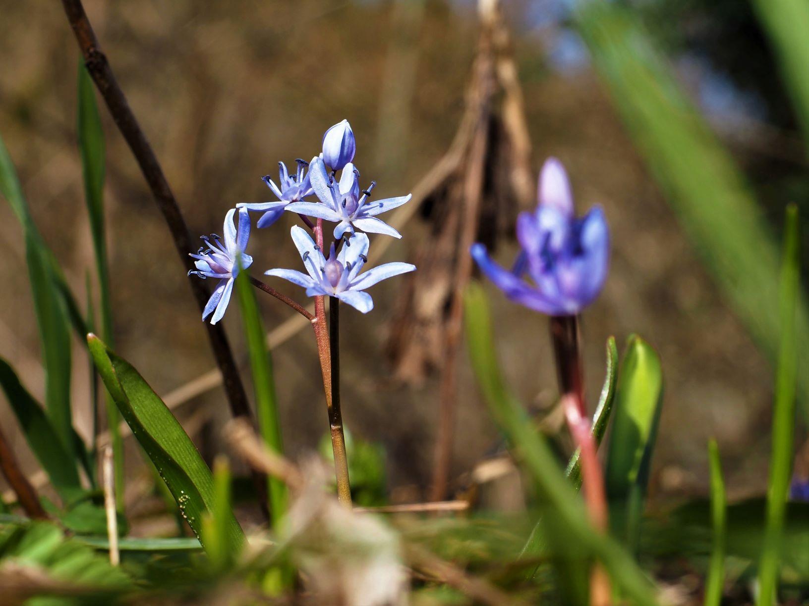 Zweiblättriger Blaustern (M. Pagel)