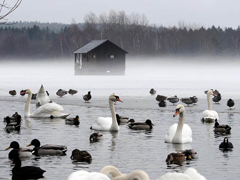 Wasservögel im Ilmenauer Teichgebiet