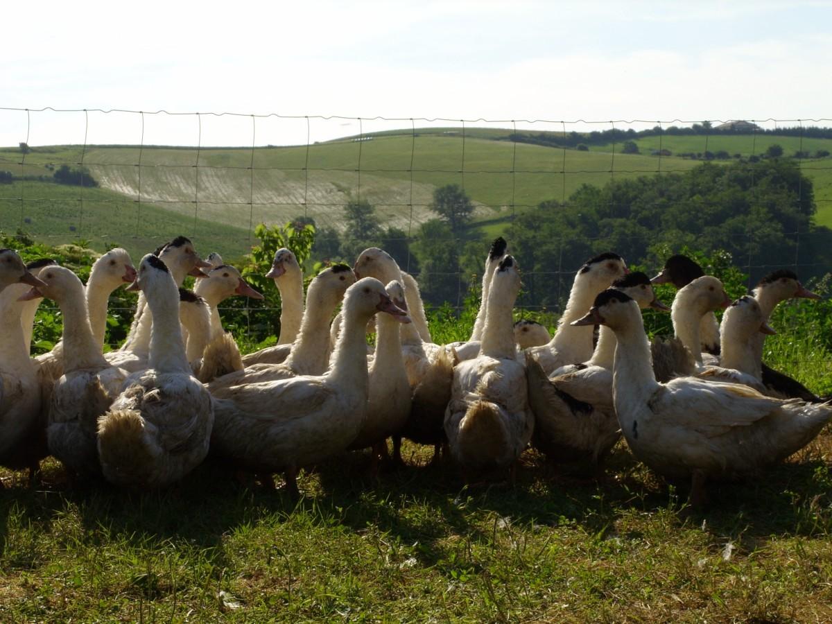 Nos canards sont élevés en plein air avec du grain à 40 km au sud de Toulouse