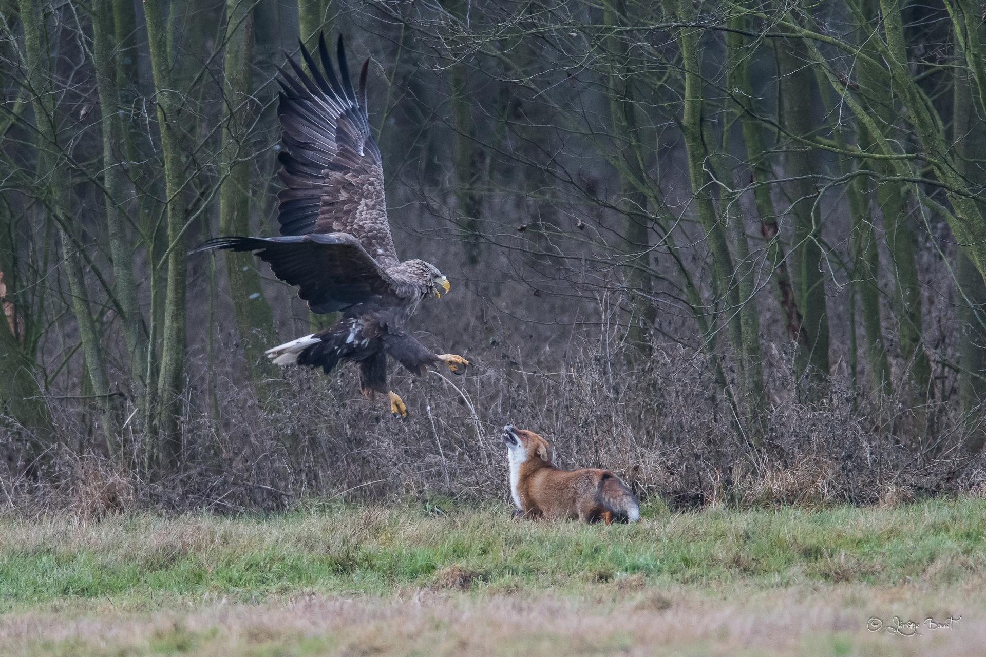 Pygargue à queue blanche et renard ©Jérome Bouet