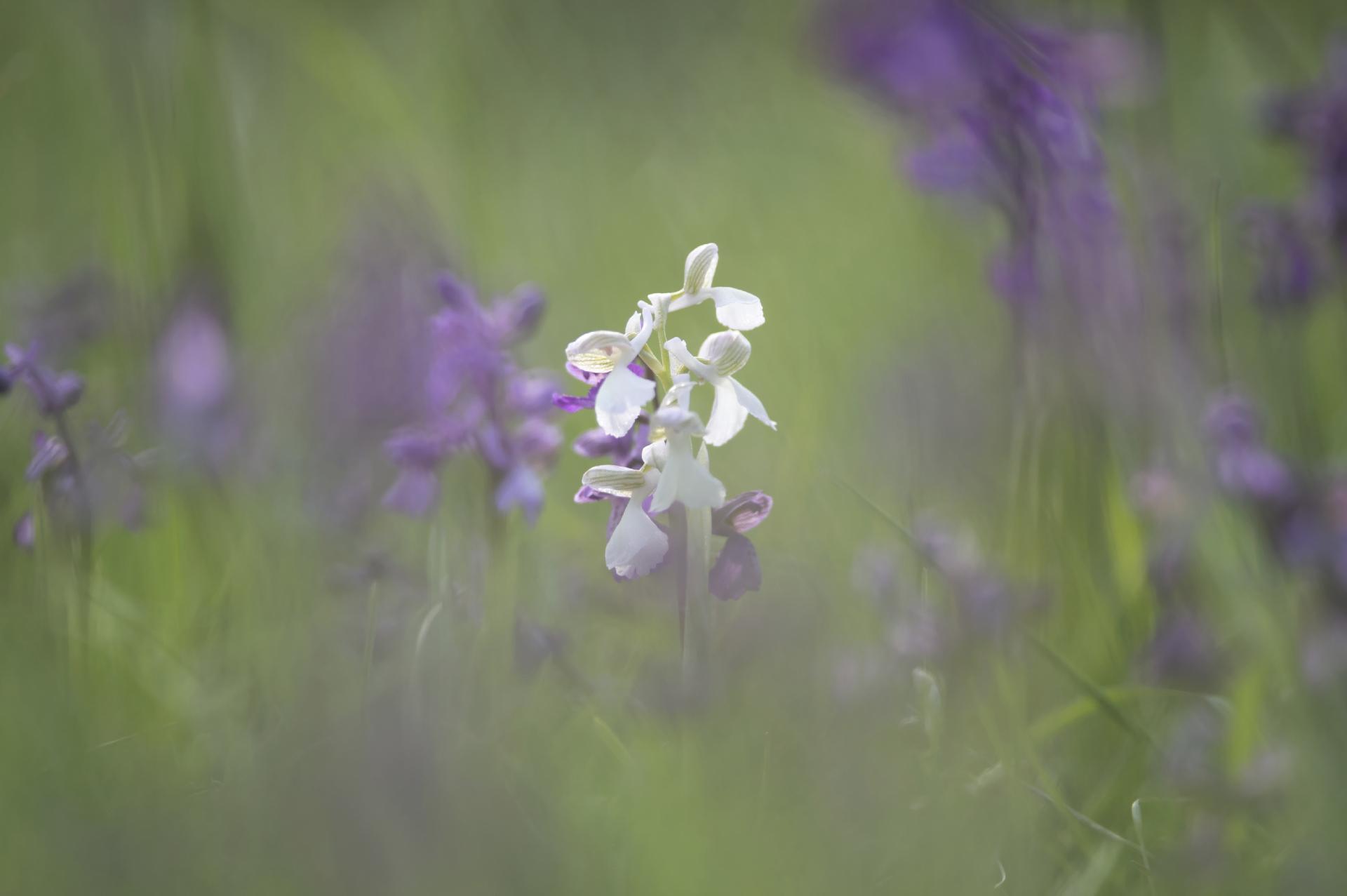 Orchis Bouffon © Thierry Lebert