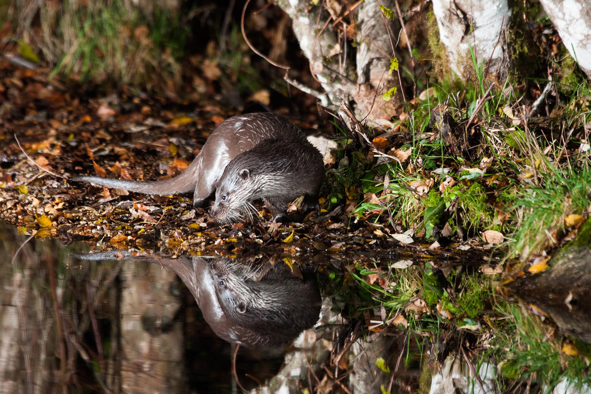 Loutre sauvage d'Europe ©Alexandre Roubalay