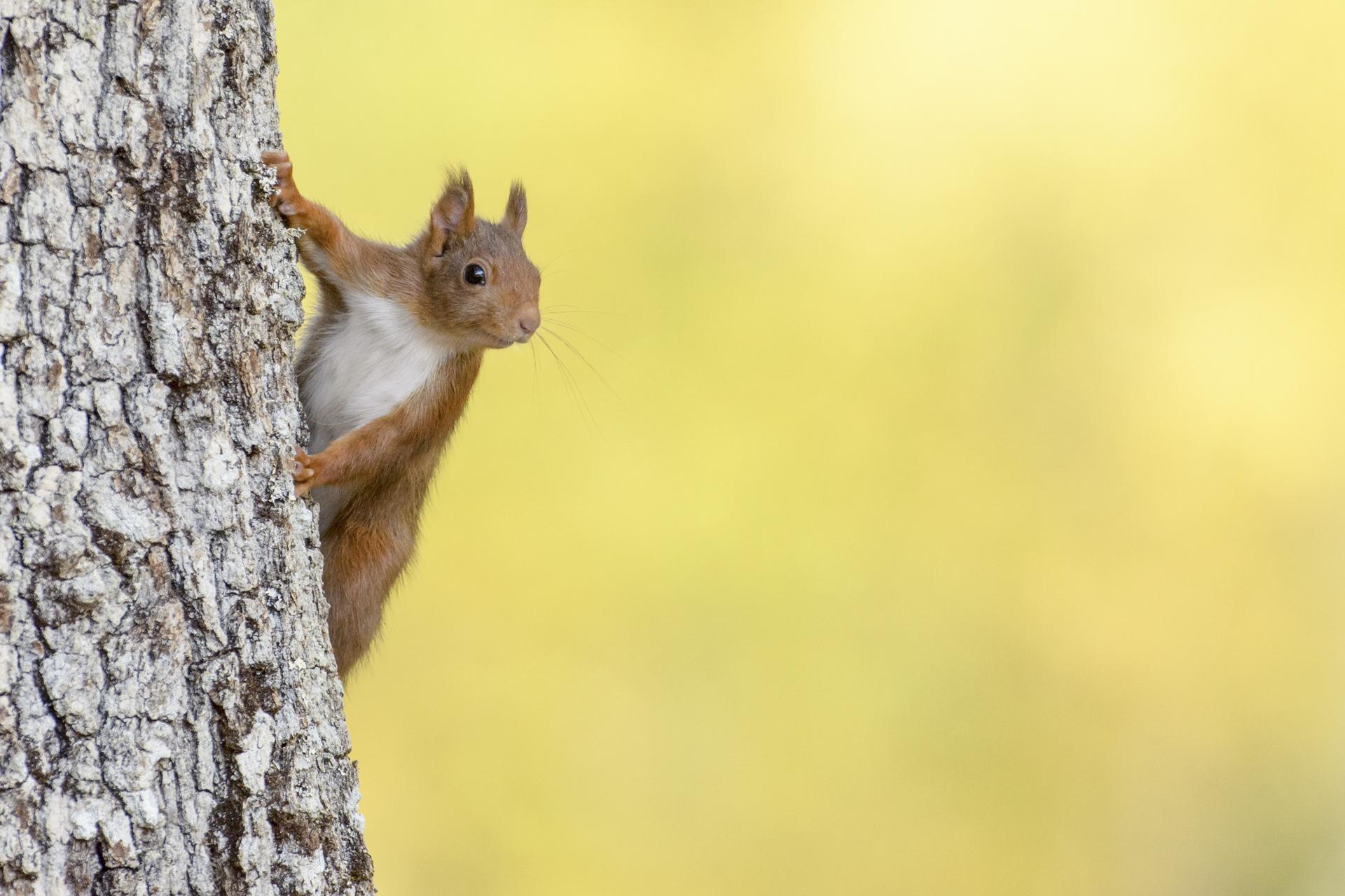 Ecureuil roux ©Patrick Mauchien