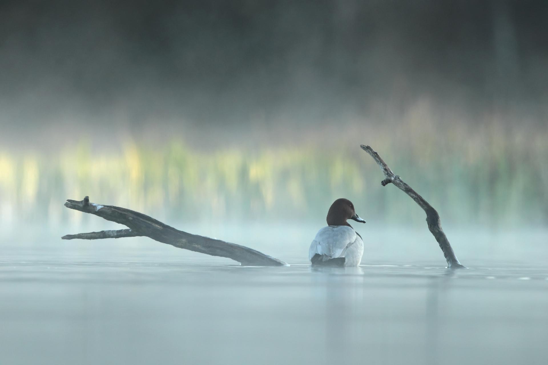 Fuligule milouin ©Tanguy Valois